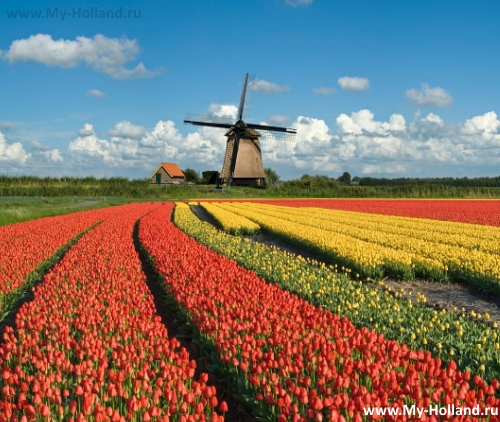 Главные символы Нидерландов - тюльпаны и мельница